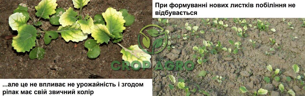 Побеление нижних листочков может быть при интенсивных осадках после обработки