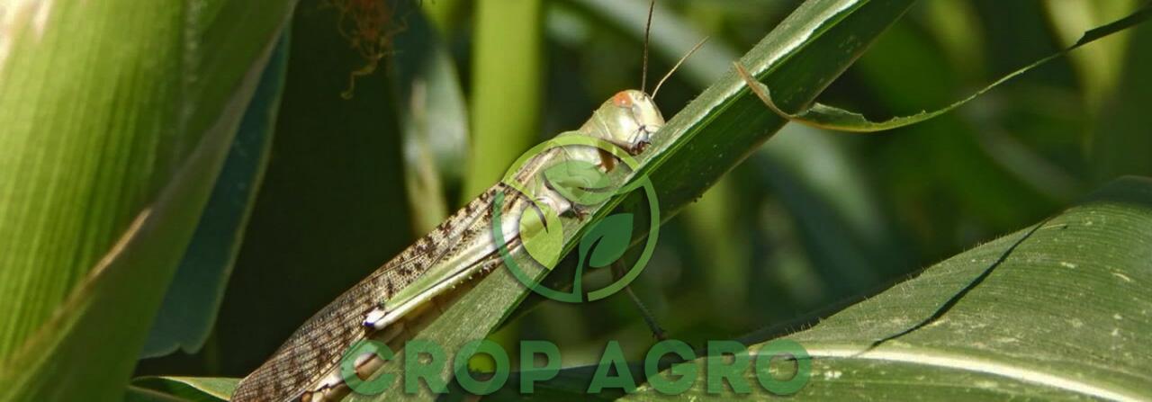 инсектициды против вредителей на кукурузе