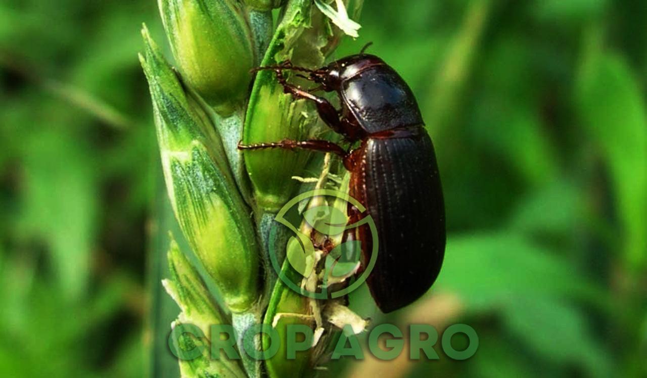 инсектициды против вредителей на пшенице
