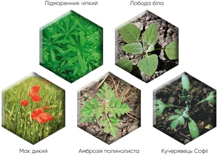 Контроль сорняков гербицидом Квелекс 200 ВГ
