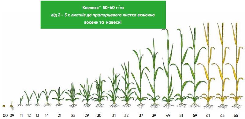 Квелекс ™ - применение гербицида на зерновых