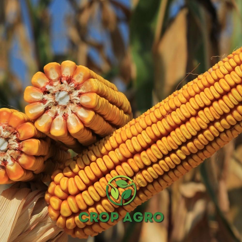 семян кукурузы Керберос