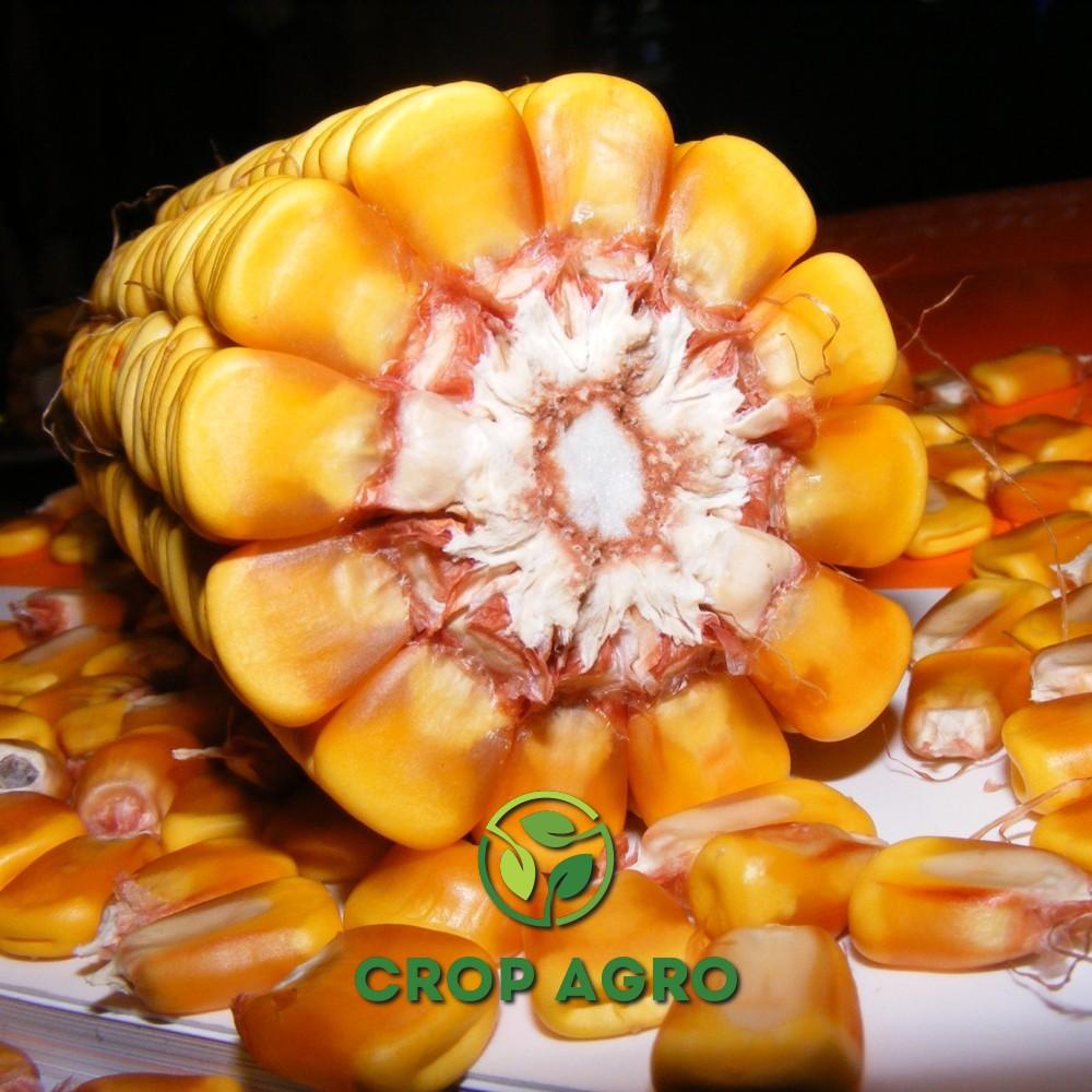 семян кукурузы Керберос - початок