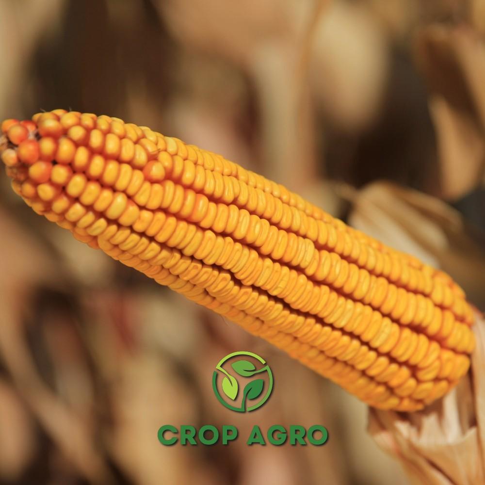 початок кукурузы Керберос